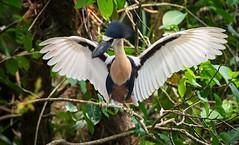 Boat-billed Heron (in all its goofy glory) (Xuberant Noodle) Tags: bird heron birds animal boat bill wings belize wildlife mullet wing