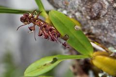 Bulbophyllum sandersonii (zimbart) Tags: africa flowers orchidaceae mozambique bulbophyllum chimanimanimts bulbophyllumsandersonii
