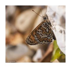 Glanville Fritillary - Melitaea cinxia (frattonparker) Tags: butterfly raw papillon crop ventnor isleofwight glanville schmetterling fritillary adobecameraraw farfalle glanvillefritillary cs6 nikond90 sigma70300mmzoom btonner frattonparker
