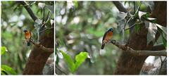 Tickell's Blue Flycatcher (राम गिड्डे) Tags: blue flycatcher tickells
