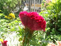 Crista de Galo (fonseca27) Tags: casa natureza jardim flres