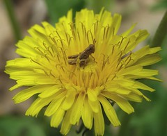 2014_0518King-Of-The-Dandelions0002 (maineman152 (Lou)) Tags: plant insect spring maine may dandelion grasshopper wildflower blooming