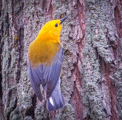 Prothonotary Warbler (Shannonsong) Tags: ohio tree bird nature wildlife aves bark warbler prothonotarywarbler protonotariacitrea mageemarsh
