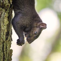 Eating habits (GBaker63) Tags: toronto tree squirrel eat olympusomdem5