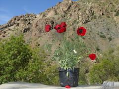 Darakeh Tehran Teheran Tehran Iran Middle East Mittlerer Osten (hn.) Tags: red copyright mountain flower rot berg asia asien heiconeumeyer iran b