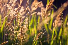 _DSC4556-LR3-1 (mikku76) Tags: nature field champs naturallight backlit cereals contrejour goldenhour lumirenaturelle crales nikond700 carlzeissjenasonnar135mm35 czjs13535