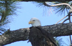 Bald Eagle photo taken from my kayak (Regina_B_1) Tags: nature birds eagle wildlife baldeagle silverlake virtualjourney