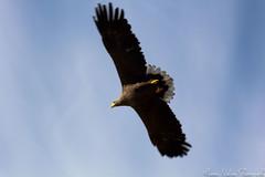 White-tailed eagle at Ørnereservatet - Eagleworld (buckeyemilton) Tags: sun white canon denmark eagle 70200 tailed dyr jutland jylland fugle ørnereservatet ørne