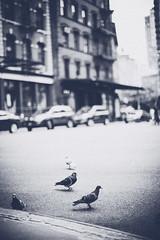 'The New York Pigeons' United States, New York, New York City, Tribeca