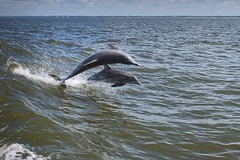 Dolphins (Hannah E. Healey) Tags: mississippi mexico wake gulf dolphin riding dolphins sound ms gomex