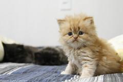 Meow (fabsciack) Tags: cute cat kitten gato meow miau gatinho fofinho