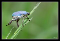 Hoplie Bleue (M@P31) Tags: france macro insecte 2014 ariège ddo coléoptère tamron90macro hopliebleue hopliacoerulea scarabéidés sonya77