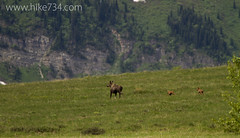 "Cow Moose with Calves • <a style=""font-size:0.8em;"" href=""http://www.flickr.com/photos/63501323@N07/14422752202/"" target=""_blank"">View on Flickr</a>"