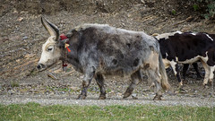 Тибетские яки