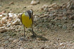 Social Flycatcher (Myiozetetes similis) (Simon Valdez-Juarez) Tags: mexico tulum socialflycatcher myiozetetessimilis quintanaroo cobaruins