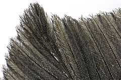 feather tip ([d c photography]) Tags: detail feather microscope dcp