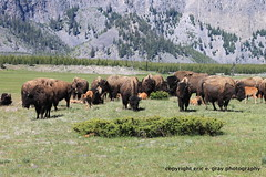 The Herd (ericcubs) Tags: park nature canon eric yellowstonenationalpark yellowstone bison ti1 ericcubs