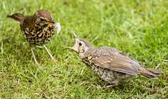 2011-05-20-12-52-43-0001.jpg (martinbrampton) Tags: england bird unitedkingdom wildlife thrush brampton may2011 townfootpark