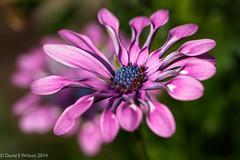 Relax (David S Wilson) Tags: uk flowers england flower ely fens 2014 flowersplants davidswilson lightroom5 olympusomdem5 leicadgmacroelmarit12845asphlens