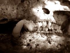 Teeth (stickersattackface) Tags: old sepia skull teeth bone