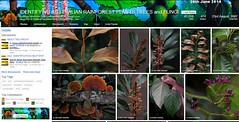 41,000 Images, 26th June 2014 - IDENTIFYING AUSTRALIAN RAINFOREST PLANTS,TREES and FUNGI Flickr Group (Black Diamond Images) Tags: screenshot rainforest 2014 rainforests australianflora 41000 australiannativeplants australianplants rainforestflora rainforestplants rainforestplant australianrainforest arfp australianrainforests australianrainforestplants identifyingaustralianrainforestplants idrainforestgroupmilestones australianrainforestflora arfmilestone identifyingaustralianrainforestplantstreesandfungigroup idrainforestgroup rainforestidentification comment72157606451416793databasesab 41000images 2662014 41000thimage