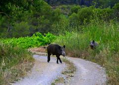 Senglars a les vinyes, Torrelles de Foix, Alt Penedès. (Angela Llop) Tags: spain eu catalonia vineyards penedes nationalgeographic susscrofa senglars torrellesdefoix