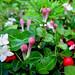 Partridge Berry Inn Partridge Berry in Bloom