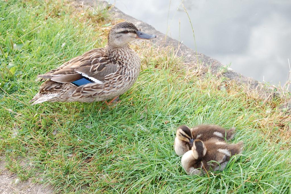 Grand Union Canal - Female Mallard with Ducklings