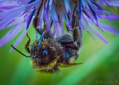 Abeille - Bee - Abeja (sebastienpeguillou) Tags: flower macro fleur closeup insect nikon bee abeja tamron 90mm abeille insecte macrophotography macrophotographie d3200