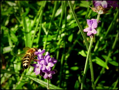 A busy bee (Landanna) Tags: sunset nature insect natur lavender natuur bee insekt bi bij lavendel abusybee