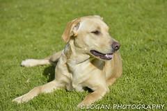 Layla_03 (logie_logan) Tags: dog lab labrador yellowlab goldenlab canine goldenlabrador labpuppy labbitch
