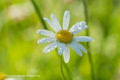 after the rain (dewollewei) Tags: alps flower rain flora alpen bloem alpenflora