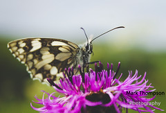 Marbled White - Melanargia galathea (M Thompson Photography) Tags: nature butterfly yahoo:yourpictures=nature