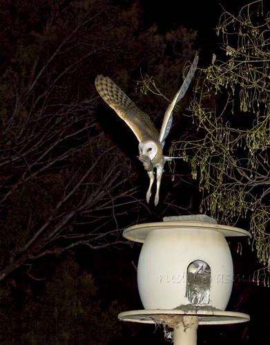Western W_Barn Owl flying over  nest box  with prey_3005