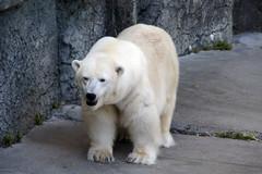 Polar Bear at S.F. Zoo (GMLSKIS) Tags: sanfrancisco california animal zoo polarbear sanfranciscozoo