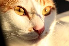 Mr TOM (usesuailusão) Tags: southamerica sãopaulo sampa sp gato felino