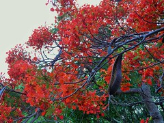 Royal Poinciana Bloom (Delonix Regia) (alansurfin) Tags: flowers seeds bloom royalpoinciana