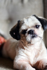 So cute (fhbritto) Tags: brazil dog baby silly cute co puppy 50mm amazing nikon friend sweet shihtzu earring sunny d5200
