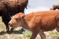 yellowstone park (Pattys-photos) Tags: yellowstonenationalpark bison