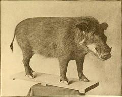 Anglų lietuvių žodynas. Žodis genus oryctolagus reiškia genties oryctolagus lietuviškai.