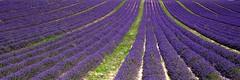 Provenza - Valensole - Linee cromatiche convergenti (antoniobusso) Tags: france nature landscape miel provence lavande francia paesaggi provenza lavanda lavandin