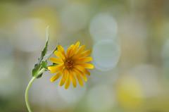 Luz y color /  Light and color (hequebaeza) Tags: naturaleza nature vegetación vegetation bokeh flores flowers flora amarillo yellow nikon d5100 nikond5100 3570mm hequebaeza