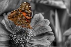 Distelfalter ( Vanessa cardui) // painted lady , cosmopolitan (gerdschremer) Tags: tranquility flower nature natur butterfly schmetterling distelfalter