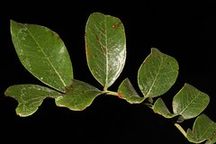 Cassia tomentella (andreas lambrianides) Tags: caesalpiniaceae cassia dryarf nativeplants arfp australiannativeplant australiannativeplants australianplant australianrainforest australianrainforestplant qrfp cassiatomentella nswrfp