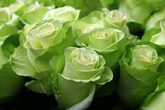 Green Roses (C. Alice) Tags: 2017 flower color rose green spring hongkong canonef24105mmf4lisusm canoneos6d eos6d canon 24105mm favorites50 1000views aatvl01 aatvl02 favorites100 2000views