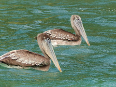 Brown Pelicans / Pelecanus occidentalis, Blue Waters Inn, Tobago (annkelliott) Tags: tobago island speyside bluewatersinn batteauxbay atlanticocean nature ornithology avian bird birds pelican brownpelican pelecanusoccidentalis large two swimming floating sideview water sea ocean aquamarine waterpatterns outdoor 13march2017 fz200 fz2004 annkelliott anneelliott ©anneelliott2017 ©allrightsreserved excellence avianexcellence