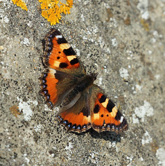 First Butterfly Of The Year! (RiverCrouchWalker) Tags: elitebug butterfly insect smalltortoiseshell aglaisurticae seawall rspb cliffepools invertebrate february 2017 sunbathing lichens cliffe kent