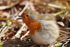 Basking Robin (Hugobian) Tags: robin bird birds british sun bathing basking nature wildlife fauna pentax k1 swt lackford lakes