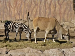 Equus quagga boehmi y Taurotragus oryx (carlos mancilla) Tags: equusquaggaboehmi taurotragusoryx cebracomún cebradegrant antílopeeland olympussp570uz zoológicos zoos