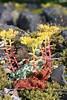 Broadleaf Stonecrop (maritimeorca) Tags: broadleafstonecrop columbiarivergorge flower hermancreektrail plant sedumspathulifolium stonecrop